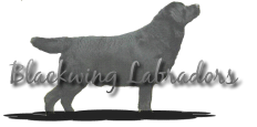 Blackwing Labradors